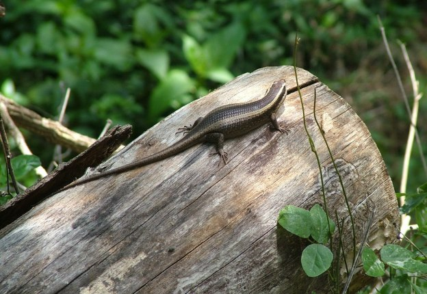 african striped skink, sabie, south africa, pic 2