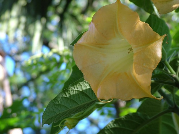 angels trumpet, valley view lodge, sabie, south africa, pic 2