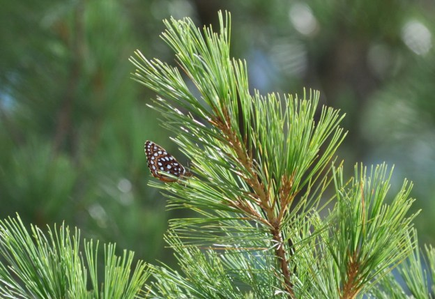 Atlantis fritillary butterfly sitting on a pine tree in Algonquin Park, Ontario, Canada