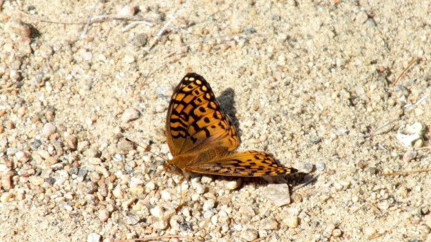 Atlantis fritillary butterfly sitting on the ground in Algonquin Park, Ontario, Canada