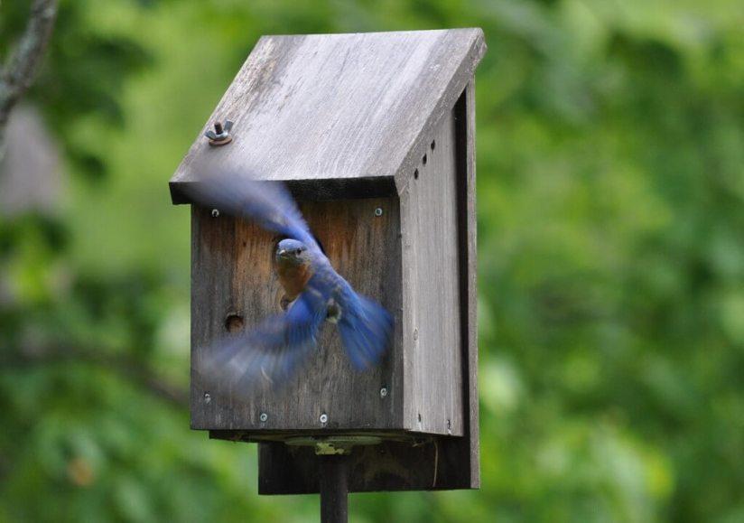 eastern bluebird male, oxtongue lake, ontario, 10