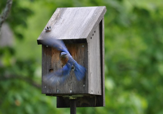 Eastern bluebird at a bluebird house at Oxtongue Lake in Ontario, Canada