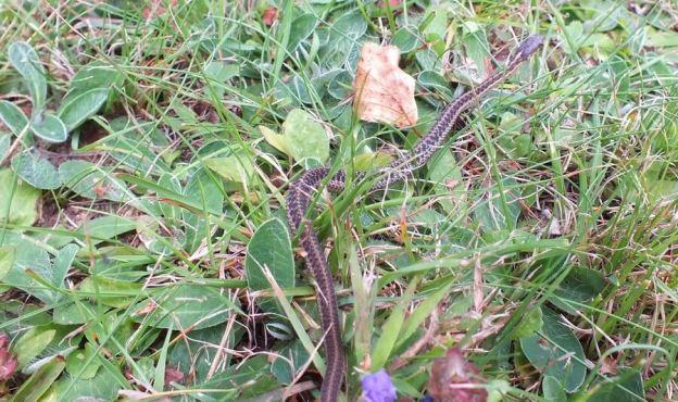 eastern garter snake, oxtongue lake, ontario, pic 5