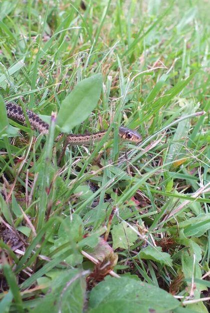eastern garter snake, oxtongue lake, ontario, pic 7