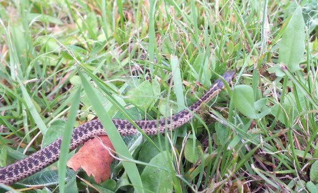 eastern garter snake, oxtongue lake, ontario, pic 8