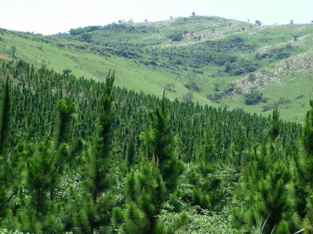 Pine tree forest near Sabie, South Africa