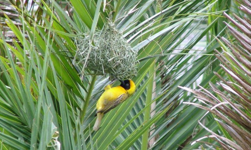 A image of a lesser-masked weaver bird builds a hanging nest in Skukuza Rest Camp in Kruger National Park, South Africa.