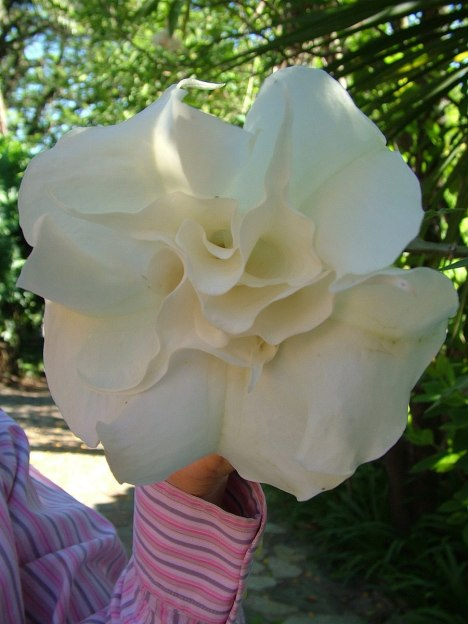 white angels trumpet, valley view lodge, sabie, south africa, pic 2