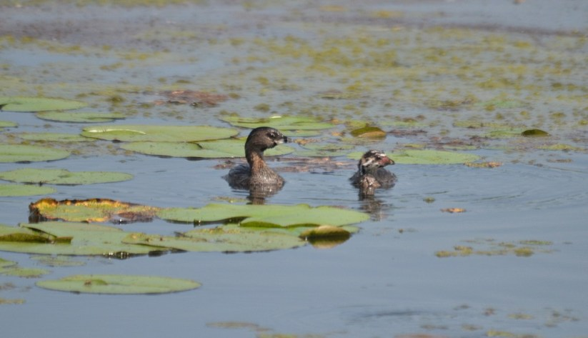 Female Pied billed Grebe with immature Pied-billed Grebes at South Reesor Pond in northeast Toronto, Ontario