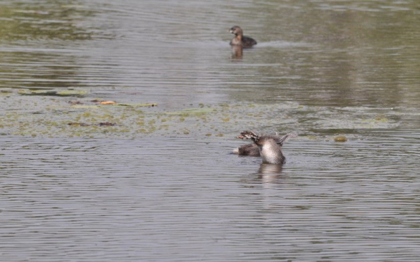 Two immature Pied-billed Grebes at South Reesor Pond in northeast Toronto, Ontario