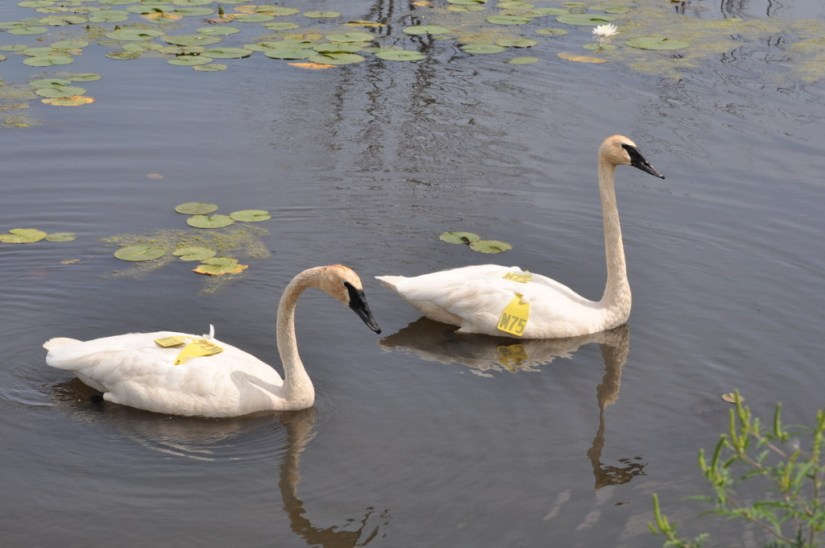 Trumpeter swans at South Reesor Pond in northeast Toronto, Ontario