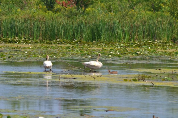 Trumpeter swans at Lower Ressor Pond in Toronto, Ontario, Canada