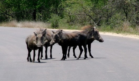 warthogs on road, kruger national park, south africa, pic 3