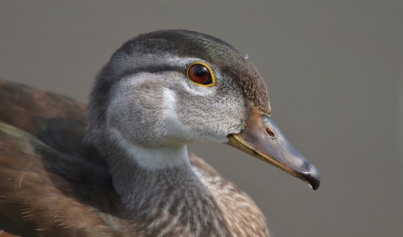 Close up of Wood ducks head and beak at Lower Ressor Pond in Toronto, Ontario, Canada