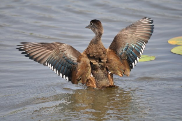Wood duck flapping its wings at Lower Ressor Pond in Toronto, Ontario, Canada