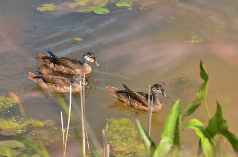 Wood ducks along the shore at Lower Ressor Pond in Toronto, Ontario, Canada