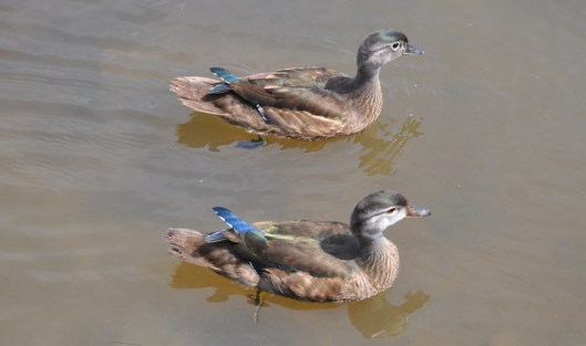 wood ducks on water 1