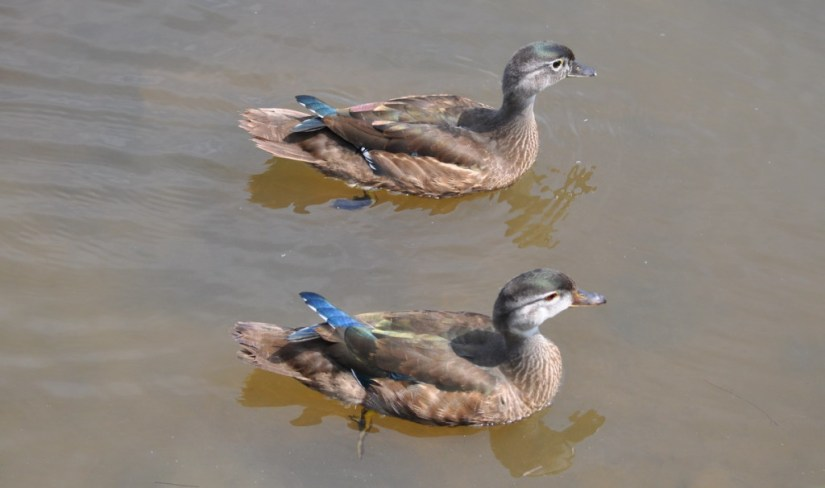 Wood ducks on the surface of Lower Ressor Pond in Toronto, Ontario, Canada