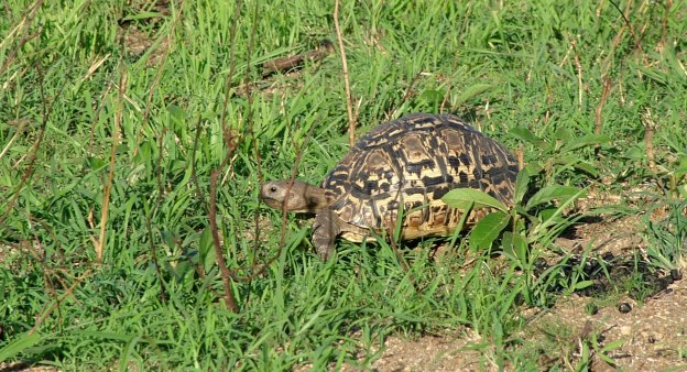 African Leopard Tortoise at Kruger National Park, South Africa