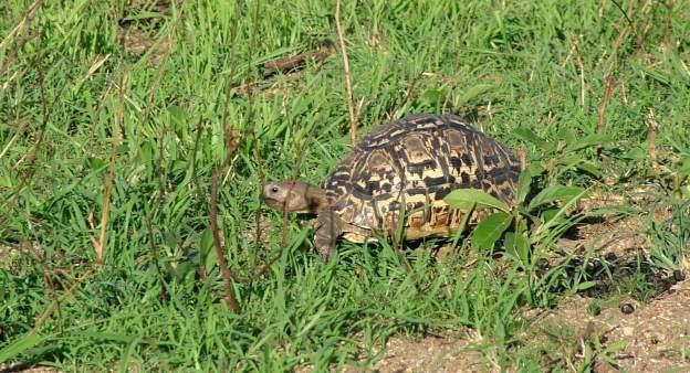 African Leopard Tortoise at Kruger National Park, South Africa