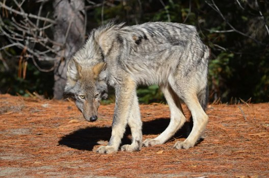 eastern wolf, algonquin park, ontario, pic 1