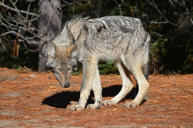Eastern wolf standing along a trail in Algonquin Park, Ontario, Canada