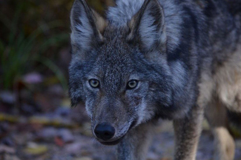 Closeup of the face in Eastern wolf in Algonquin Park, Ontario, Canada