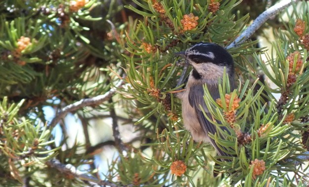 Mountain chickadee sitting on a Pinyon Pine at Grand Canyon National Park, Arizona, U.S.A.
