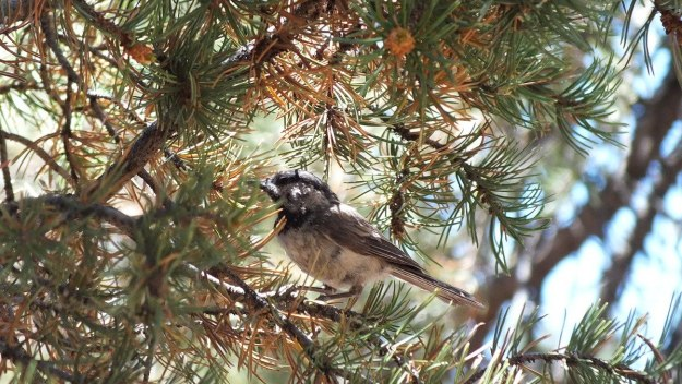 Mountain chickadee on a Pinyon Pine tree limb at Grand Canyon National Park, Arizona, U.S.A.