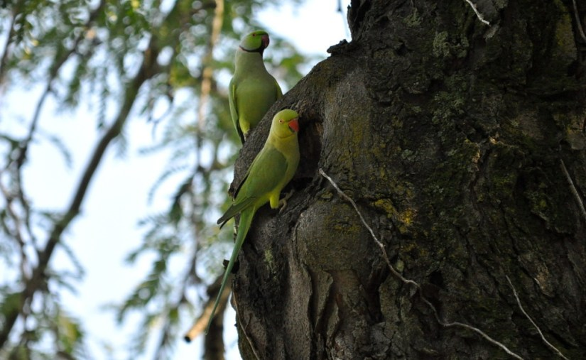 An image of two Rose-ringed parakeets on a tree in Villa Borghese Park in Rome, Italy. Photography by Frame To Frame - Bob and Jean.
