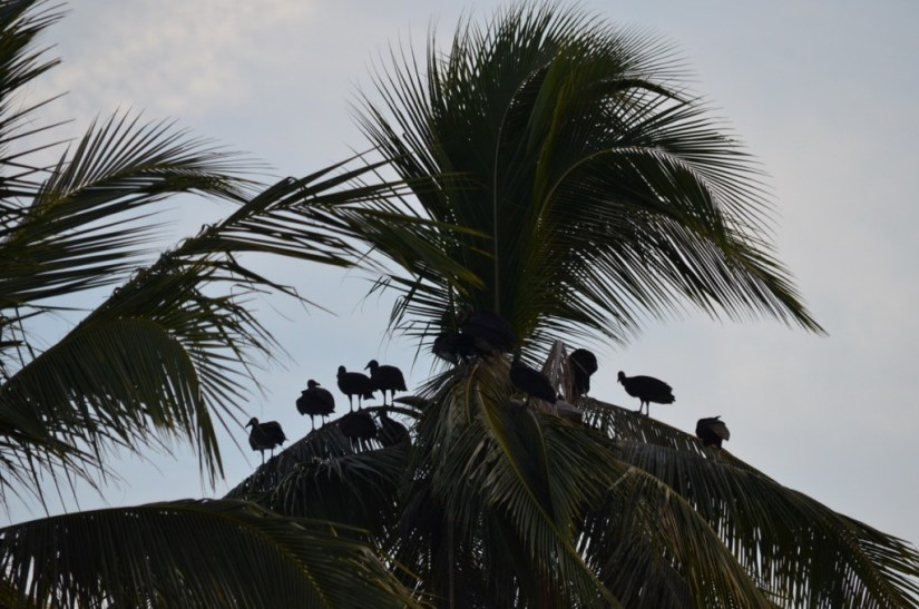 Photo of Black Vultures sitting on a palm tree in the mangrove swamp near San Blas, Mexico