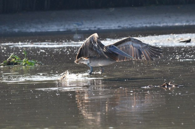 Photo of a Brown Pelican fishing along the San Cristobal River near San Blas, Mexico