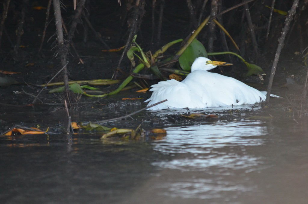 Photo of a Great Egret along the San Cristobal River near San Blas, Mexico