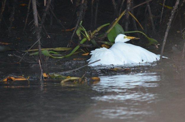 Photo of a Great Egret along the San Cristobal River near San Blas, Mexico