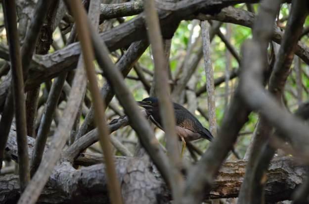 Photo of a Green Heron in the mangrove swamp near San Blas, Mexico
