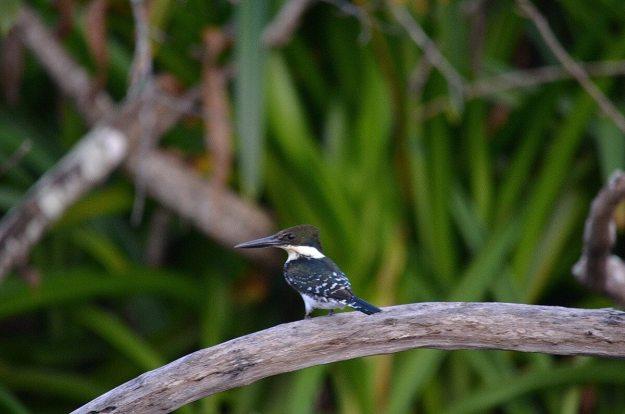 Photo of a female Green Kingfisher in the mangrove swamp near San Blas, Mexico
