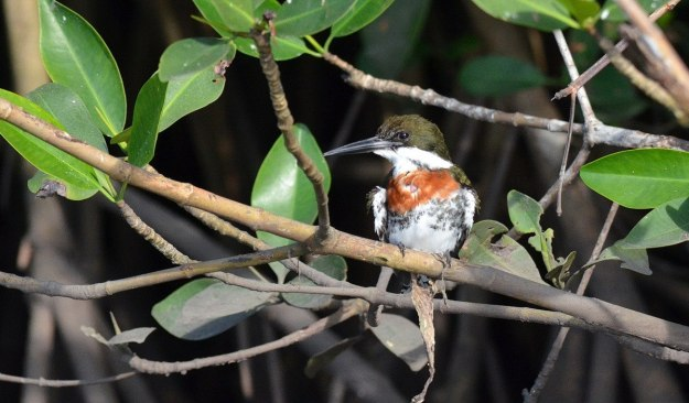 Photo of male Green Kingfisher in the mangrove swamp near San Blas, Mexico