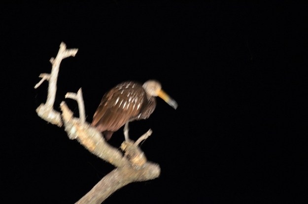 Photo of a Limpkin sitting on a tree after sunset in the mangrove swamp near San Blas, Mexico