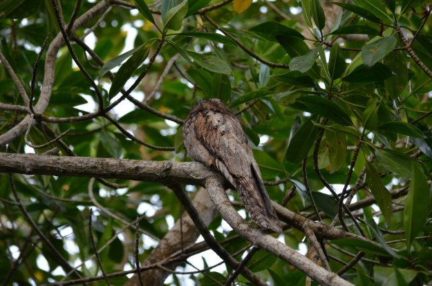 Photo of a Northern Potoo in the mangrove swamp near San Blas, Mexico