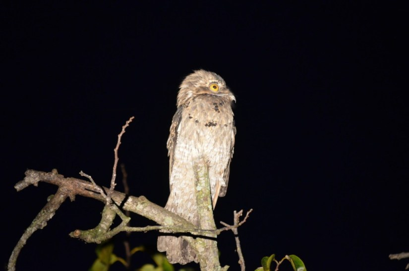 Photo of a Northern Potoo sitting on a tree after sunset in the mangrove swamp near San Blas, Mexico