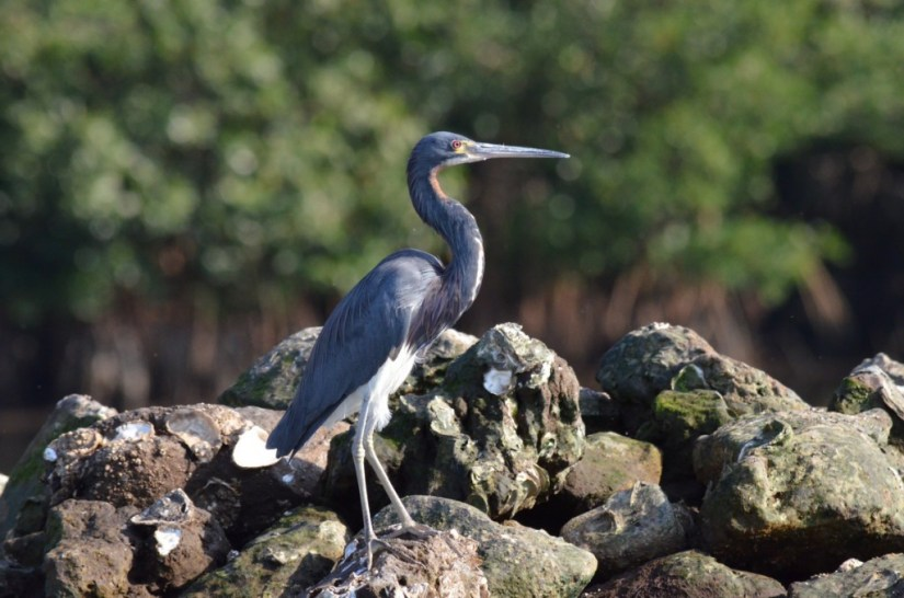 Closeup photo of a Tri-colored Heron along the San Cristobal River near San Blas, Mexico