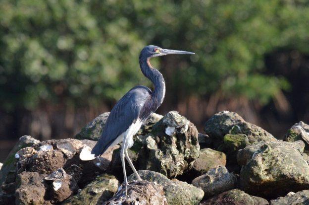 Closeup photo of a Tri-colored Heron along the San Cristobal River near San Blas, Mexico