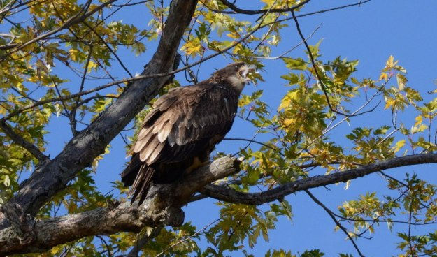 Juvenile Bald Eagle with its beak full of feathers, Ajax, Ontario