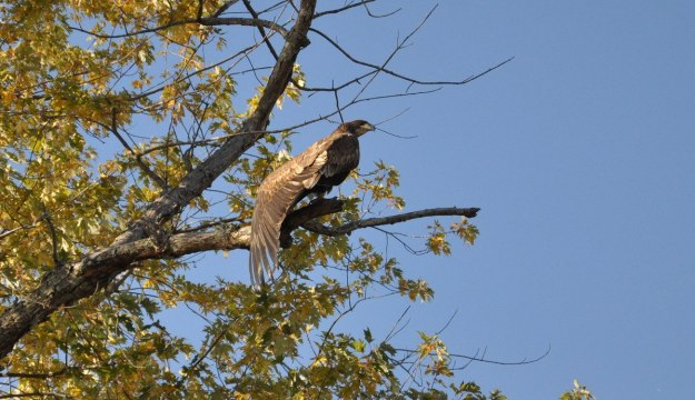 Juvenile bald eagle stretching its wings in a tree, in Ajax, Ontario