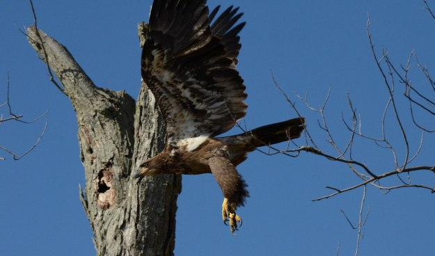 Juvenile Bald Eagle swoops in over a tree in Ajax, Ontario