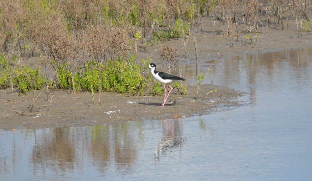 An image of a Black-necked stilt walking along shore of the shrimp ponds near San Blas, Mexico.