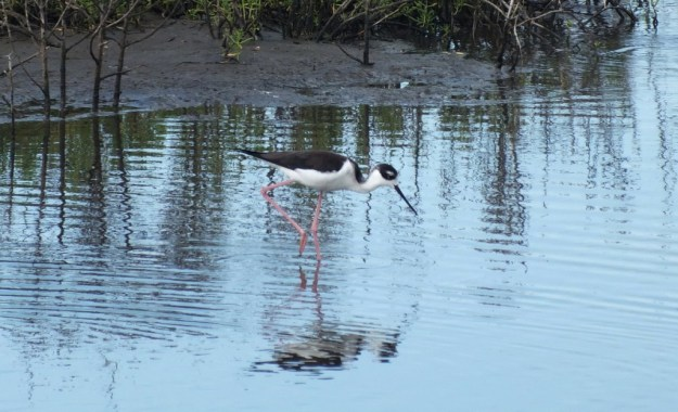 An image of a Black-necked stilt walking in the waters of the shrimp ponds near San Blas, Mexico.