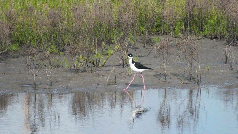 An image of a Black-necked stilt walking along the shore at the shrimp ponds near San Blas, Nayarit, Mexico.