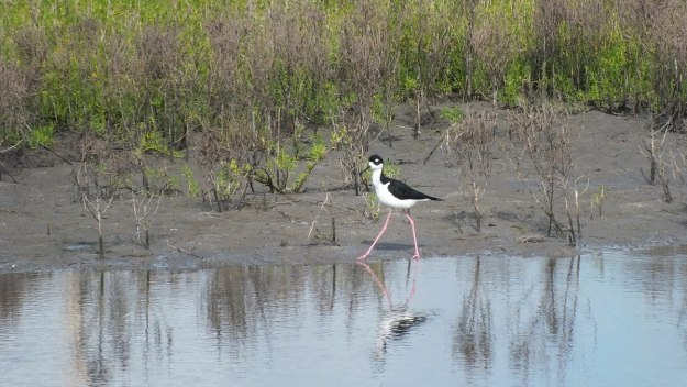 An image of a Black-necked stilt walking along the shore at the shrimp ponds near San Blas, Nayarit, Mexico.