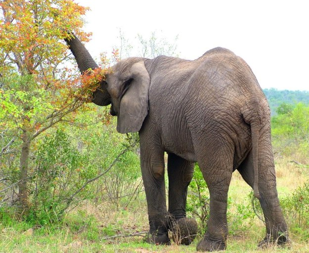 An African Bush Elephant eats leaves from a tree in Kruger National Park, South Africa
